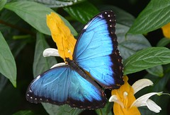 Blue Morpho (suekelly52) Tags: bluemorpho insect rhswisley