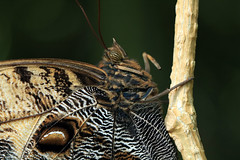 my precious (oldogs) Tags: owlbuttefly insect lepidoptera brown beige macro butterfly