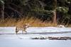 1L0A9135 (kayaker72) Tags: wolf elk hunting nature banffnationalpark albertacanada banff canda canadianrockies