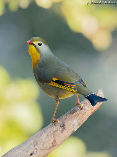 """Red-billed Leiothrix (Lifer) • <a style=""""font-size:0.8em;"""" href=""""http://www.flickr.com/photos/59465790@N04/25086690177/"""" target=""""_blank"""">View on Flickr</a>"""