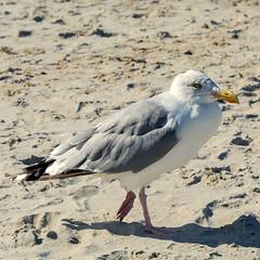 Ostsee  (21) (berndtolksdorf1) Tags: deutschland mecklenburgvorpommern ostsee möve sand tiere vögel outdoor
