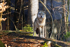 Nature Details (Nature Details) Tags: wolf lupo wil wild wildlife nature natura