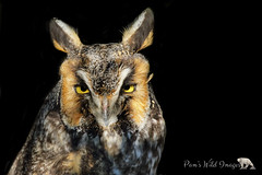 Long Ears (PamsWildImages) Tags: owl longeared bc bird britishcolumbia beautiful canada canon canonef100400mmlens nature naturephotographer wildlife wildlifephotographer pamswildimages pammullins