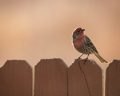 House Finch (droy0521) Tags: bokeh wildlife winter backyardphotography bird colorado outdoors housefinch animal places fence