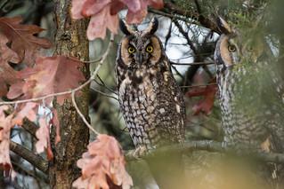 Long-Eared Owl(s)