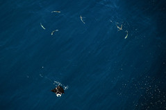 LRM_EXPORT_20180210_234701 (edklingberg) Tags: mantaray sharks birdseyeview ocean nikond300