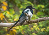 Miss Magpie beauty queen (m3dborg) Tags: magpie pica bird birds wildlife wilderness animal animals avian branch leaf leaves yellow green tree outdoor outdoors nature feathers beak wing wings eye