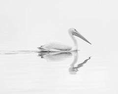 whitepelican021118 (F7sound) Tags: whitepelican wildlife bird florida circlebbarreserve lakeland sonuya6000