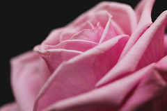 Flowers-3 (Steve Mo) Tags: flowers canon 70d 100mm macro pink roses plants plantlife abstract bokeh
