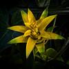 Tropical Star (MrBlueSky*) Tags: succulent flower petal plant garden horticulture nature colour kewgardens royalbotanicgardens london pentax pentaxart pentaxlife pentaxk1 pentaxawards pentaxflickraward aficionados