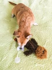 Mortally wounded Wookie (jmhull.LA) Tags: chihuahuacorgi wookie dog chewbacca chorgi dogtoy