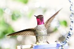 Ta Da! Luci showing off (theresazphotography) Tags: hummingbirdphotography hummingbirds hummingbird annashummingbird birdphotography photography canonphotography malehummingbird californiahummingbirds california theresazphotography losangeles southerncalifornia socal
