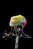 AAA_4638-3 (Angelo M51 (Angelo Metauri)) Tags: water waterdrops watersplash waterdrop watersculpture angelom51 drops dropcollision fluids fluid stilllife lacqua liquid liquidart macro mcroliquid splash speedphotography