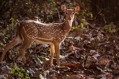 SSS_8388.jpg (S.S82) Tags: wild wildlife trips mysore india nature karnataka animal herbivore deer nagaraholenationalpark hunsur ss82 rajivgandhinationalpark tigerreserve hathugattuforesti in