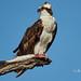 Osprey with breakfast (lesleymattuchio) Tags:
