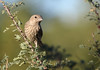 House Finch -- Female (Carpodacus mexicanus); Catalina, AZ, Catalina Regional Park [Lou Feltz] [Lou Feltz] (deserttoad) Tags: nature arizona bird wild wildlife behavior fauna songbird finch tree park water