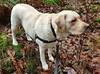 Gracie in the brush (walneylad) Tags: gracie dog canine pet puppy cute lab labrador labradorretriever january winter morning westlynn