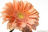 Nikon 60mm 2.8 (Greg B Photography) Tags: onwhite highkey gerber gerbera daisy sb600 speedlight offcamera