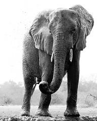 Elephant at the water hole - Mashatu - Botswana (lotusblancphotography) Tags: africa afrique botswana mashatu wildlife safari faune animal elephant éléphant monochrome bw