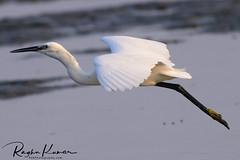 Kovalam Beach, India (rvk82) Tags: 2018 birds india january january2018 kovalam muttukadu muttukadubackwaters nikkor200500mm nikon nikond850 rvk rvkphotography raghukumar raghukumarphotography southindia tamilnadu wildlife rvkonlinecom rvkphotographycom thiruvidandhai in