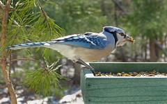 Blue Jay-30Jan2018 (Bob Vuxinic) Tags: bird 30jan2018 cumberlandplateau crossvilletn bluejay cyanocittacristata trayfeeder driedmealworms