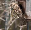 Female Sparrow (jimgspokane) Tags: sparrows birds wildlife spokanewashingtonstate otw