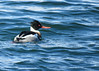 Red-breasted Merganser best 3 (Kelly Preheim) Tags: redbreasted merganser birds waterfowl south dakota