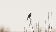 Bosque Adventure 1:29:18 (phicks172) Tags: bosqueadventure12918 dsc8695 bird bosquedelapache birds shrike loggerheadshrike unitedstates newmexico sanantonio