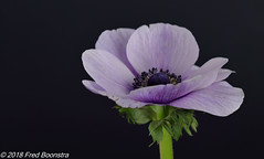 """another beauty in the livingroom"", Anemone (Fred / Canon 70D) Tags: canon70d canoneos canon jinbeiwhiteumbrella jinbei falconeyesdiffusionumbrella falconeyesskk2150d falconeyes ef100mmf28lmacroisusm anemone anemoon macro closeup eefde flowers spring spring2018"