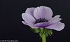 """""""another beauty in the livingroom"""", Anemone (Fred / Canon 70D) Tags: canon70d canoneos canon jinbeiwhiteumbrella jinbei falconeyesdiffusionumbrella falconeyesskk2150d falconeyes ef100mmf28lmacroisusm anemone anemoon macro closeup eefde flowers spring spring2018"""