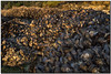 _DSD3307-aa (tellytomtelly) Tags: mussels vancouverisland canada tofino britishcolumbia animal shell sunset