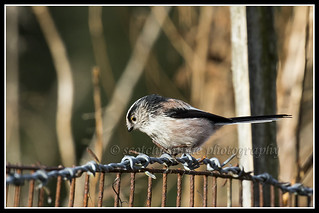 IMG_0124 Long-tailed Tit
