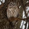 BarredOwlSittingPretty (jmishefske) Tags: 2018 winter nikon owl halescorners birdofprey d500 bird barred park milwaukee wisconsin whitnall february