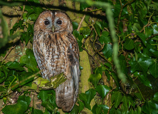 A very patient Tawny