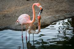 Breakfast at First Light (helenehoffman) Tags: flamingo caribbeanflamingo conservationstatusleastconcern feathers bird wadingbird americanflamingo beak phoenicopterusruber sandiegozoo orange aves animal