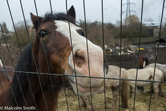 Curiosity (M C Smith) Tags: horse grey white black mud muddy pentax k3 field railings rubbish van pylons sky curiosity horses blue trees green branches pink hay straw
