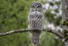 Great Gray Owl / Chouette Lapone (shimmer5641) Tags: strixnebulosa greatgrayowl chouettelapone raptor birdofprey birdsofbritishcolumbia birdsofnorthamerica