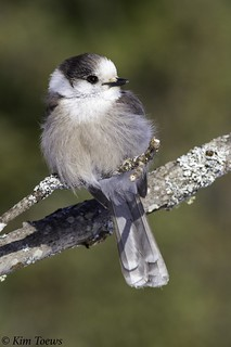 Gray Jay (Perisoreus canadensis) Perched on a Lichen Covered Branch - Algonquin Provincial Park, Ontario