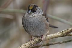 Golden-crowned Sparrow (Terrance Carr) Tags: dncb 201809 reifel terry carr terrycarr 20180227 2018 february