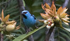 Dacnis azul- Dacnis cayana- BLUE DACNIS jpg (Carlos Alberto Arias A.) Tags: ave amazonia dacnis blue cayana mocoa putumayo colombia canon7d markii bird