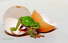 Europäische Laubfrosch Hyla arborea (Nikolaj Ullmann) Tags: art arten tier tiere frosch frösche lurchen frogs frog hyla arborea formerly rana animalia zöld levelibéka ranita de san antonio обыкновенная квакша