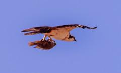Uber for fish? (Carl Cohen_Pics) Tags: chandler arizona unitedstates coopershawk bird birdofprey aves nature