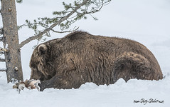 Sam (Pattys-photos) Tags: grizzlyandwolfdiscoverycenter westyellowstone pattypickett4748gmailcom pattypickett