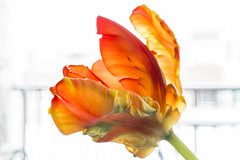 Speckled - HMM (wernsmannlynn) Tags: tulip frilly unique orange whitebackground macromonday macro yellow