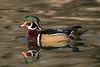 Male Woodie (MelRoseJ) Tags: elkgrove california unitedstates us woodduck a77ii alpha autofocus nature birds duck