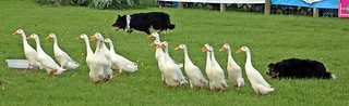 Duck Herding - Devon County Show - May 2017