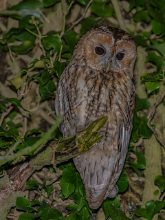 Tawny Owl in amongst the ivy