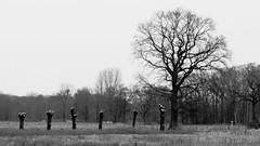 Who's Next, Please? (Hamburg PORTography) Tags: trees cut baum tree bäume row line linie reihe 2018 hoonose68 sgrossien grossien germany deutschland rokkor zoom minolta md mount sr fuji xmount fujifilm xe1 adapted adapter lens objektiv manual novoflex black white schwarz weis greyscale monochrome grayscale bw sw 3570mm stump stumps stumpf stümpfe againstautotagging