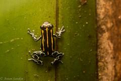 Stripes (antonsrkn) Tags: ranitomeya toraro poison poisonfrog dendrobatidae dendrobatid nature frog amphibian toxic stripes herp herpetology wildlife animal aposematic colombia amazonas amazon tropics southamerica herping