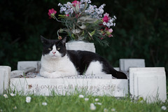 Cat on a grave (Moorebig50) Tags: ilobsterit catonagrave catsittingongrave cat